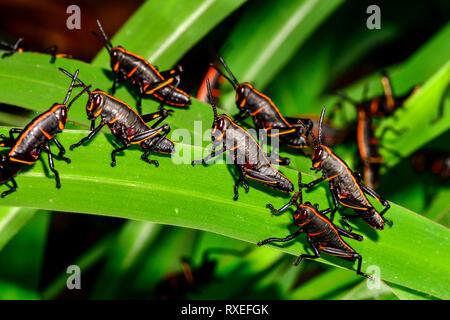 Eastern lubber grasshopper - Stock Image