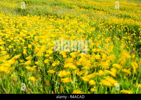 Field full of buttercups and wild grasses blowing around in a spring breeze creating an impressionistic representation of movement - Stock Image