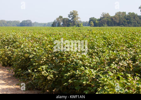 Tennessee cotton field with blossoms in summer - Stock Image