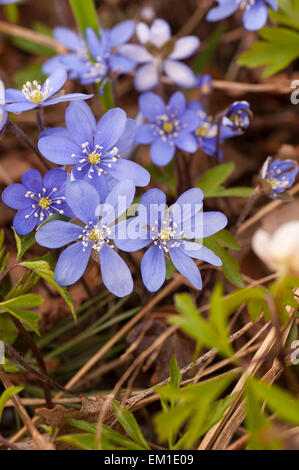 Blooming hepatica in a pile of leaves on a spring day in the forest. - Stock Image