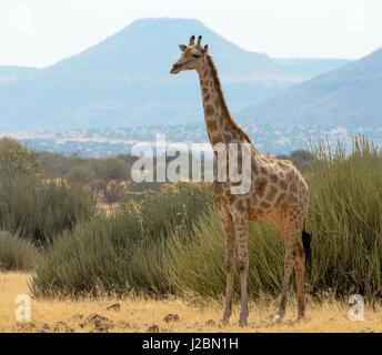 Africa, Namibia, Damaraland, Palwag Concession. Solitary giraffe. Credit as: Wendy Kaveney / Jaynes Gallery / DanitaDelimont.com - Stock Image