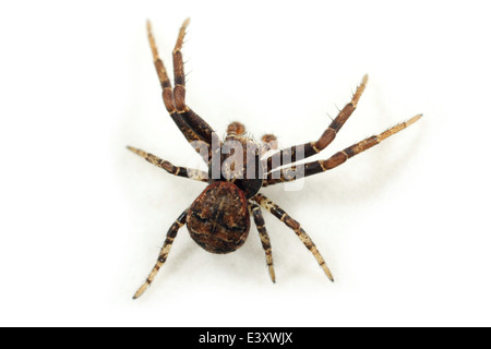 Male Xysticus audax spider, part of the family Thomisidae - Crab spiders. Isolated on white background. - Stock Image