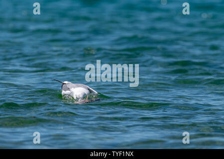 Herring gull (Larus argentatus) feeding on a dead fish (believed to be a common carp (Cyprinus carpio)) in Lake Michigan, USA. - Stock Image
