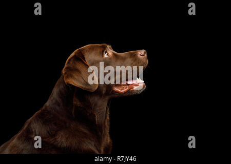 Funny Portrait of Happy Labrador retriever dog Looking up on isolated black background, profile view - Stock Image