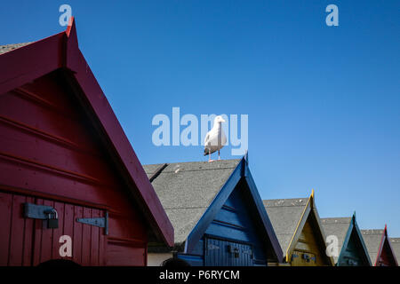 Seagull sat on top of beach hut on a English summers day, Dawlish, Devon, England, Europe. - Stock Image