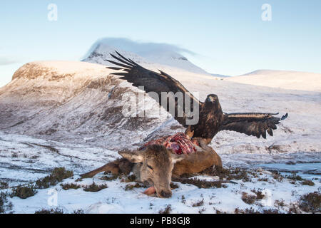 Golden eagle (Aquila chrysaetos) feeding on red deer carcass, Assynt, Scotland. Highly commended in the Habitat category of the BWPA (British Wildlife Photography Awards) 2016. - Stock Image