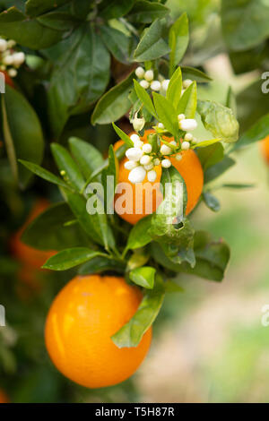Orange citrus fruit plantation on Peloponnese, Greece, new harvest of sweet juicy oranges - Stock Image