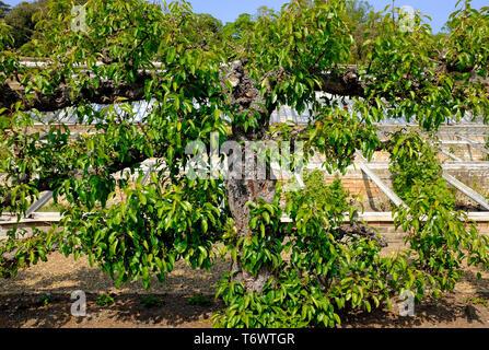 mature espaliered pear tree in garden, norfolk, england - Stock Image