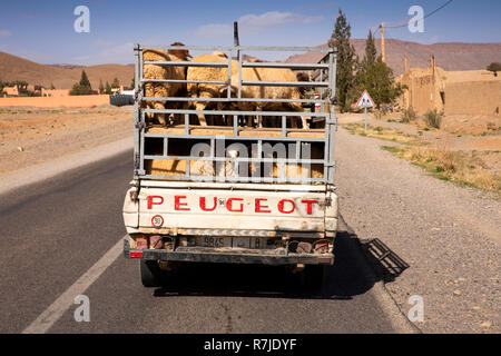 Morocco, Chefchaouen Province, Ouezzane, sheep transported in double deck Peugeot pickup truck - Stock Image