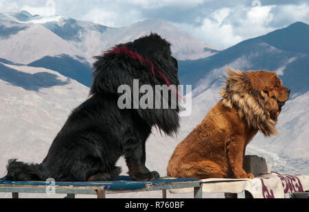 Formidable native mastiffs, Tibetan dogs almost the size of lions greet tourists arriving at a roadside lookout, Tibet, China - Stock Image