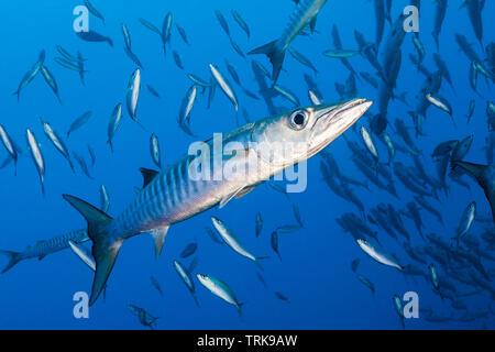 Blackfin Barracuda, Sphyraena qenie, Lissenung, New Ireland, Papua New Guinea - Stock Image