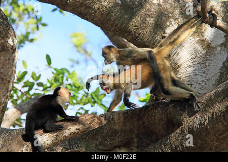 Central American Spider Monkeys (Ateles geoffroyi) screaming at White-faced Capuchin Monkey (Cebus capucinus). Santa - Stock Image