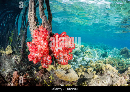 Soft Corals growing in Mangroves, Dendronephthya, Lissenung, New Ireland, Papua New Guinea - Stock Image