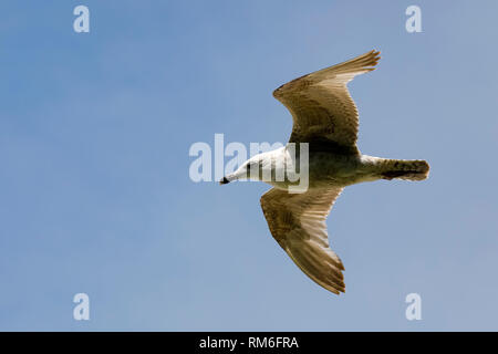 A fast flight of a lonely seagull was observed in the blue sky above the beach in Kolobrzeg, Poland. - Stock Image