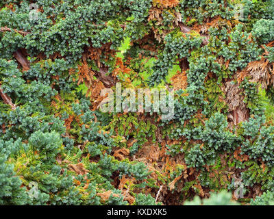 Decorative cossack juniper bush on autumn with red yellow brown foliage - Stock Image