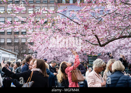 Stockholm, Sweden, 28th April, 2018. Spring weather in Stockholm. The cherry blossoms in Stockholm's Kungsträdgården plaza is one of the capital's main signs of spring. Credit: Barbro Bergfeldt/Alamy Live News - Stock Image