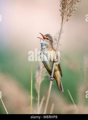 Great Reed Warbler (Acrocephalus arundinaceus)  singing on a reed - Stock Image