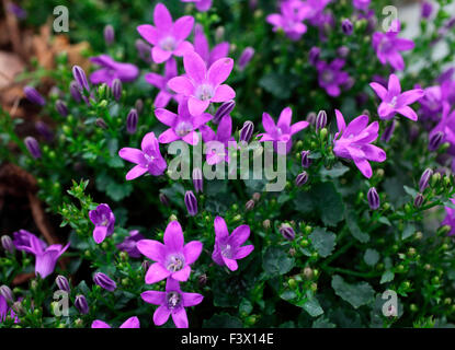 Campanula 'Dark Take' close up of flowers - Stock Image