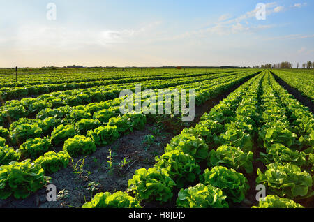 Wide salad field at sunset in italy - Stock Image
