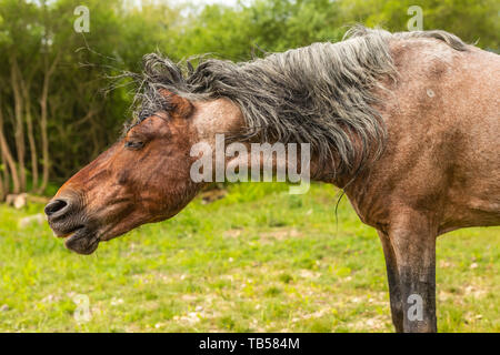 Animal portrait of brown wild pony side-on with fringe on end, taken in Dorset, England. - Stock Image