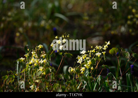 Epimedium,yellow,flowers,woodland,perennials barrenwort,shade,spring,shady,shaded,RM Floral - Stock Image