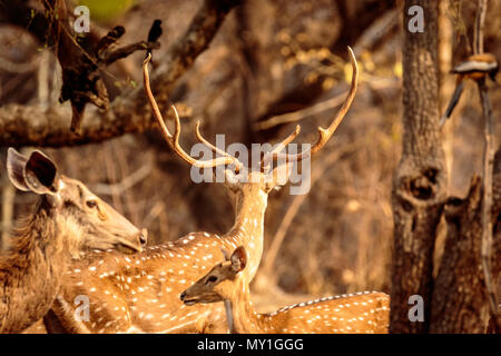 spotted deer chital or cheetal - Stock Image