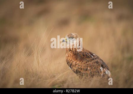 Red kite, Milvus milvus,searching for small prey in dry grass meadow. - Stock Image