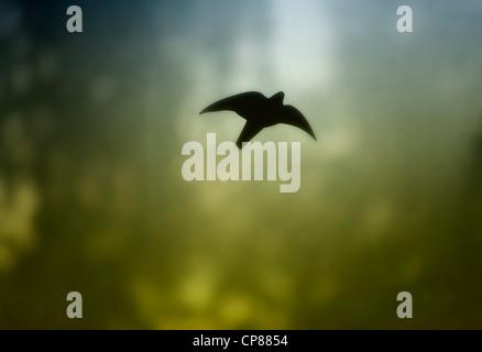 Ein Vogel aus schwarzer Folie klebt auf einer schmutzigen und beschlagenen Glasscheibe - Stock Image