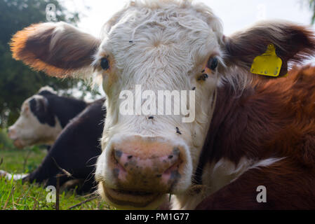 Hereford cow closeup portrait looking at camera - Stock Image