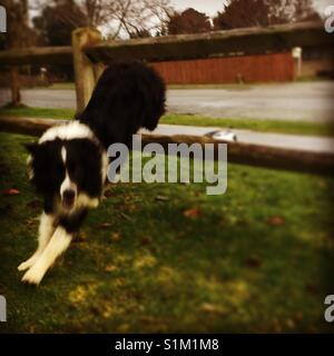 Dog jumping through a fence - Stock Image
