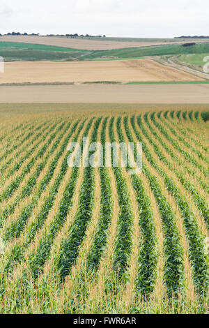 Lines of ripening wheat in late summer in a field near Avebury, Wiltshire. - Stock Image