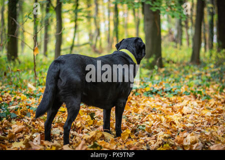 Black dog Labrador Retriever standing in the forest during autumn, dog has green collar, orange leaves are around - Stock Image