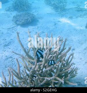 Black and white fish swimming against coral - Stock Image