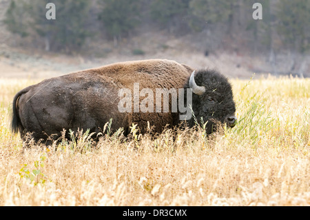 An American bison standing in a field of tall grass. - Stock Image