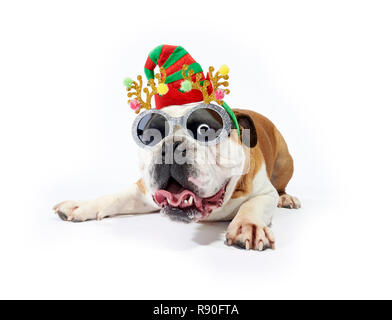 A English Bulldog showing some festive cheer by wearing sunglasses and festive antlers - Stock Image