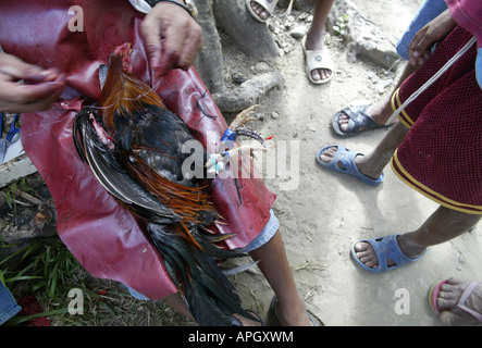 A 'chicken doctor' mends a wounded fighting bird outside a rural cockhouse in Oriental Mindoro, Philippines. - Stock Image