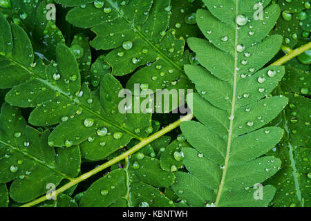 Raindrops on fern leaves in Acadia National Park in Maine - Stock Image