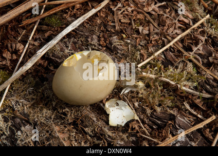 Common Pheasant egg (Phasianus colchicus) eaten by magpies (Pica pica) - Stock Image