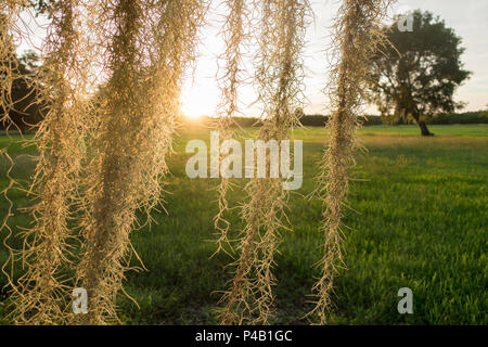Spanish Moss Tillandsia usneoides, Everglades National Park, Miami, Florida, USA - Stock Image