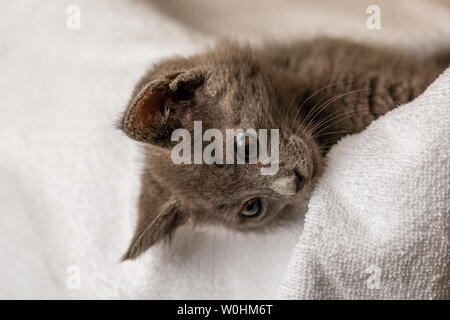 cute domestic kitten lying on white towel and looking down. suitable for animal, pet and wildlife themes - Stock Image