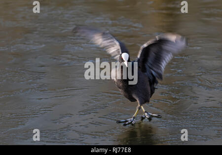 Coot Fulica atra on walking on ice , London UK - Stock Image