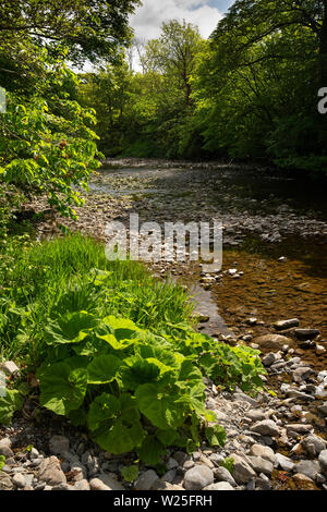 UK, Cumbria, Sedbergh, plants growing in banks of River Rawthey at New Bridge - Stock Image