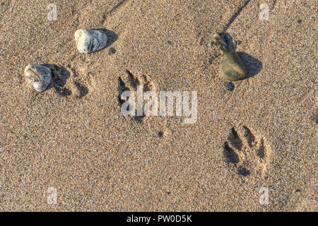 Dog paw tracks / dog footprints in wet sandy beach - Stock Image