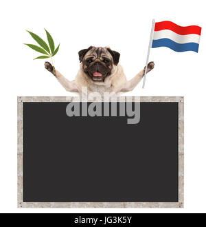 Happy smiling pug puppy dog waving Dutch National flag of the Netherlands and marijuana weed  leaf, with blank blackboard, - Stock Image