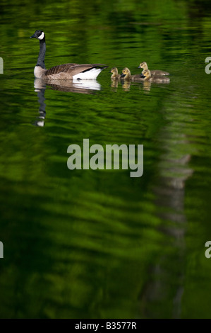 A Canada goose and her goslings on Lake Windsor in Bella Vista, Arkansas, U.S.A. - Stock Image