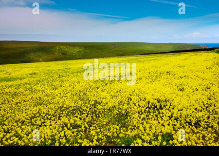 A field of Wild Mustard Sinapis arvensis at the Arable Fields Project on West Pentire in Newquay in Cornwall. - Stock Image