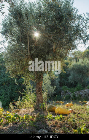 Pumpkin Patch under an olive tree with sunlight in Autumn, Portugal - Stock Image