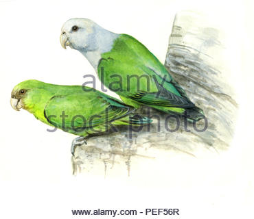 gray koepfchen agapornis cana - Stock Image