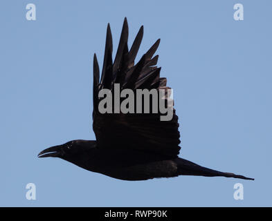 Side view of an American crow (Corvus brachyrhynchos) flying with a blue sky background - Stock Image