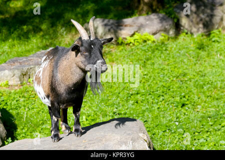 The goat stands on the stone and looks ahead. - Stock Image